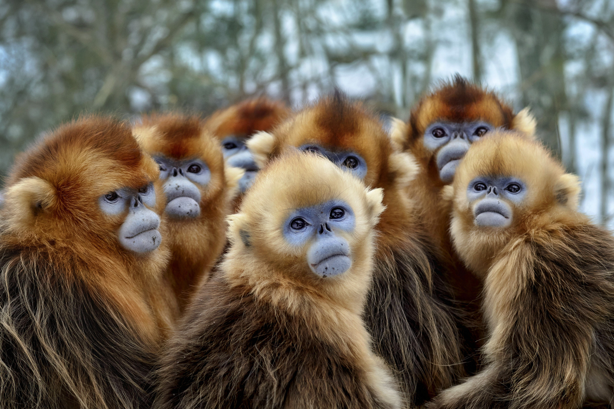 Snub nosed Monkeys in BBCs Seven Worlds, One Planet
